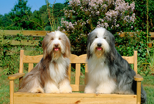 DOG 01 CE0077 01 © Kimball Stock Two Bearded Collies Sitting On Bench By Fence Shrubs And Trees