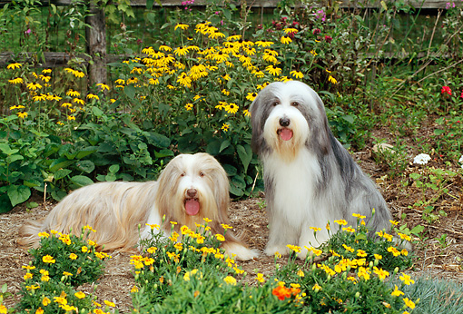 DOG 01 CE0078 01 © Kimball Stock Two Bearded Collies Sitting In Garden Among Yellow Flowers