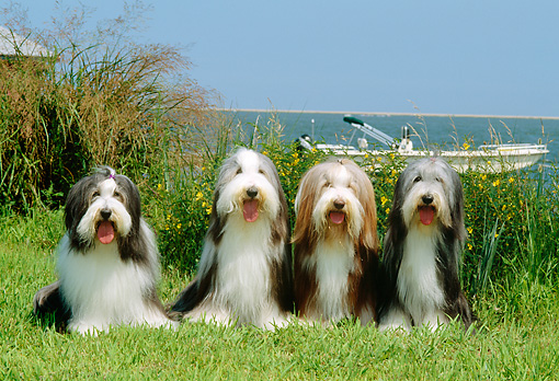 DOG 01 CE0079 01 © Kimball Stock Four Bearded Collies Sitting On Grass By Tall Grass Boat Water Blue Sky