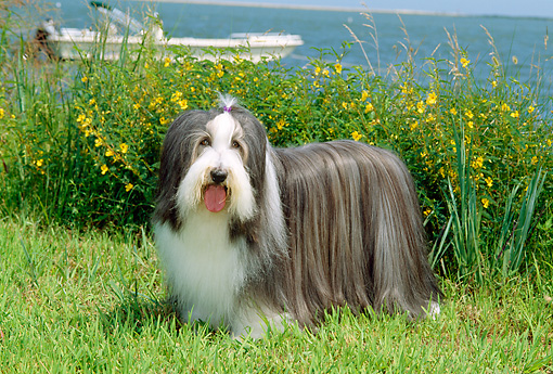 DOG 01 CE0080 01 © Kimball Stock Bearded Collie Standing On Grass By Yellow Flowers Boat Water Blue Sky