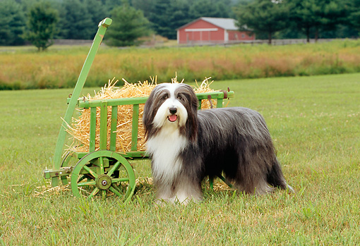 DOG 01 CE0081 01 © Kimball Stock Bearded Collie Standing In Field By Hay Cart On Farm