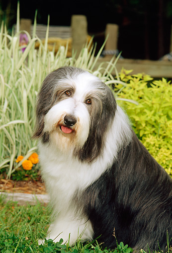 DOG 01 CE0082 01 © Kimball Stock Bearded Collie Sitting In Garden By Ornamental Grasses