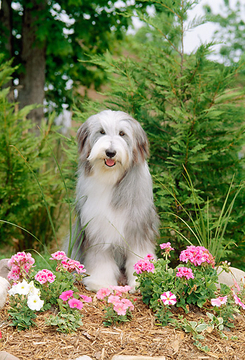 DOG 01 CE0083 01 © Kimball Stock Bearded Collie Sitting In Garden By Pink And White Flowers