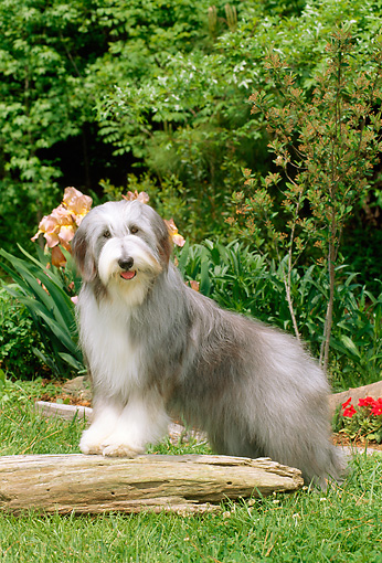 DOG 01 CE0084 01 © Kimball Stock Bearded Collie Standing On Log In Garden By Flowers And Shrubs