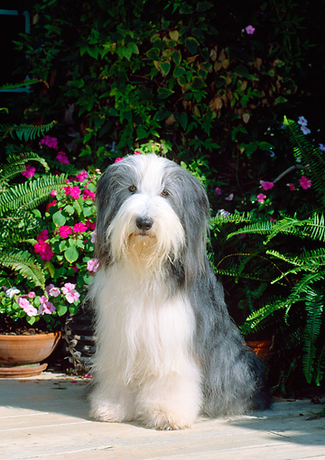 DOG 01 CE0085 01 © Kimball Stock Bearded Collie Sitting On Patio By Flowers And Ferns