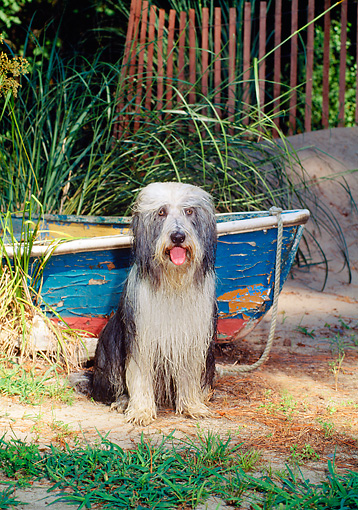 DOG 01 CE0086 01 © Kimball Stock Wet Bearded Collie Sitting By On Sand By Old Rowboat And Tall Grass