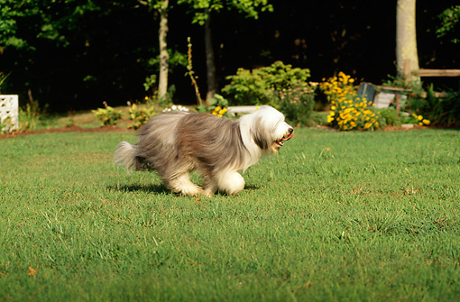DOG 01 CE0089 01 © Kimball Stock Bearded Collie Running On Grass By Trees And Yellow Flowers