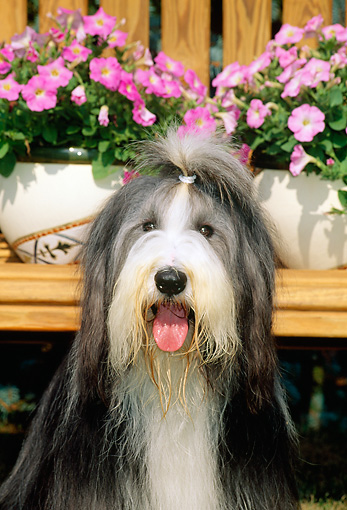 DOG 01 CE0091 01 © Kimball Stock Head Shot Of Bearded Collie Sitting By Pink Flowers