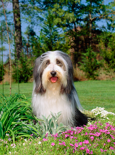 DOG 01 CE0092 01 © Kimball Stock Bearded Collie Sitting On Grass By Pink Flowers And Trees
