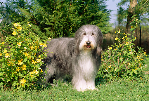 DOG 01 CE0093 01 © Kimball Stock Bearded Collie Standing On Grass By Yellow Flowering Shrubs And Trees