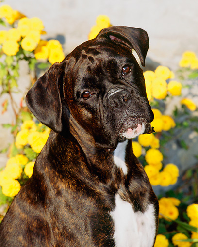 DOG 01 CE0094 01 © Kimball Stock Shoulder Shot Of Boxer Sitting By Yellow Flowers