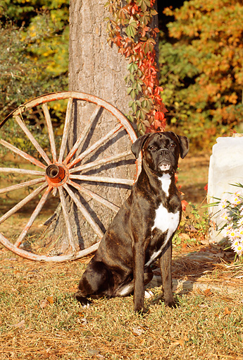DOG 01 CE0095 01 © Kimball Stock Boxer Sitting On Grass By Tree And Wagon Wheel