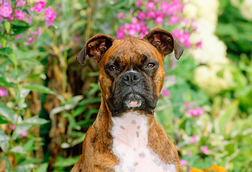 DOG 01 CE0097 01 © Kimball Stock Head Shot Of Boxer Sitting In Garden