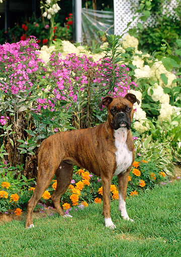 DOG 01 CE0101 01 © Kimball Stock Boxer Standing On Grass By By Flower Garden