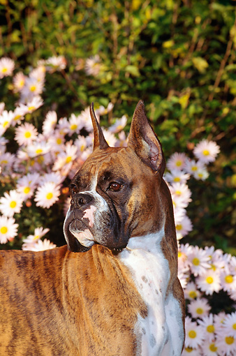 DOG 01 CE0106 01 © Kimball Stock Shoulder Shot Of Boxer Standing By Flowers And Shrubs