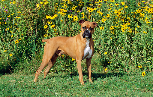 DOG 01 CE0107 01 © Kimball Stock Boxer Standing On Grass By By Field Of Flowers