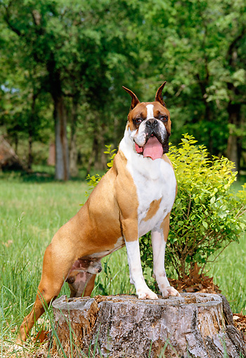 DOG 01 CE0108 01 © Kimball Stock Boxer Standing On Tree Stump By Field And Trees