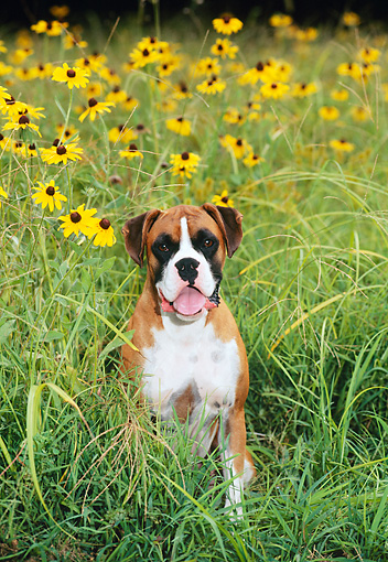 DOG 01 CE0110 01 © Kimball Stock Boxer Sitting In Field Of Yellow Flowers