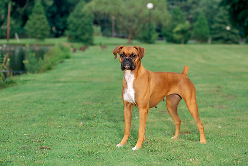 DOG 01 CE0111 01 © Kimball Stock Boxer Standing On Grass By By Shrubs And Trees
