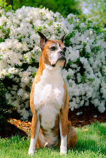 DOG 01 CE0112 01 © Kimball Stock Boxer Sitting On Grass By White Flowering Shrub