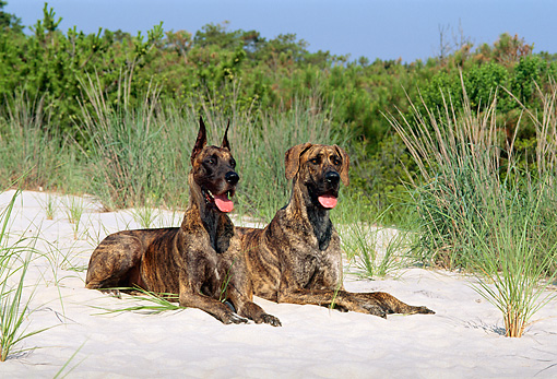 DOG 01 CE0118 01 © Kimball Stock Two Great Danes Laying On Sand By Grass Trees Blue Sky