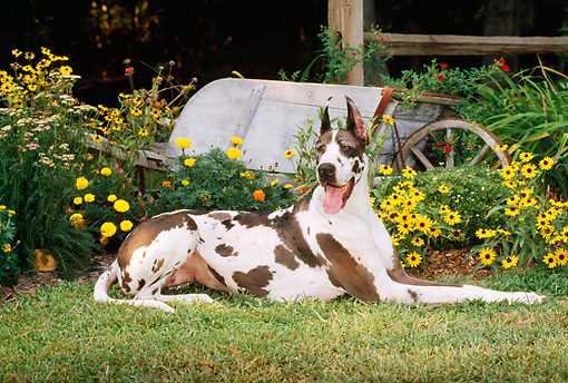 DOG 01 CE0125 01 © Kimball Stock Harlequin Great Dane Laying On Grass By Yellow Flowers And Wheelbarrow