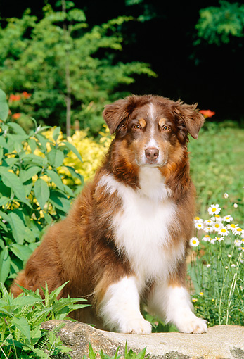 DOG 01 CE0127 01 © Kimball Stock Australian Shepherd Sitting On Stone Bench By Flowers