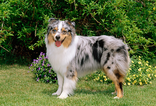 DOG 01 CE0131 01 © Kimball Stock Australian Shepherd Standing On Grass By Flowers And Shrubs