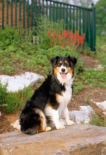 DOG 01 CE0138 01 © Kimball Stock Australian Shepherd Sitting On Boulder By Flowers And Fence