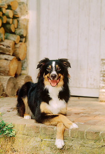 DOG 01 CE0139 01 © Kimball Stock Australian Shepherd Laying On Brick Porch By Woodpile And Door