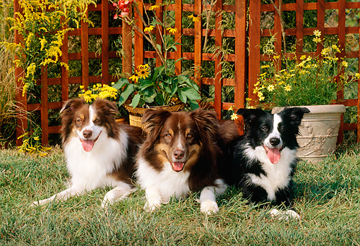 DOG 01 CE0140 01 © Kimball Stock Three Australian Shepherds Laying On Grass By Flowers Trellis