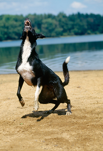 DOG 01 CE0145 01 © Kimball Stock Border Collie Leaping And Barking By Lake