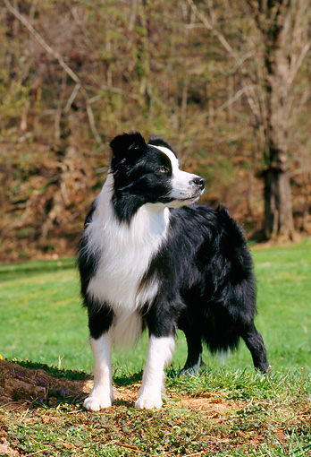 DOG 01 CE0146 01 © Kimball Stock Border Collie Standing On Hill By Grass Trees