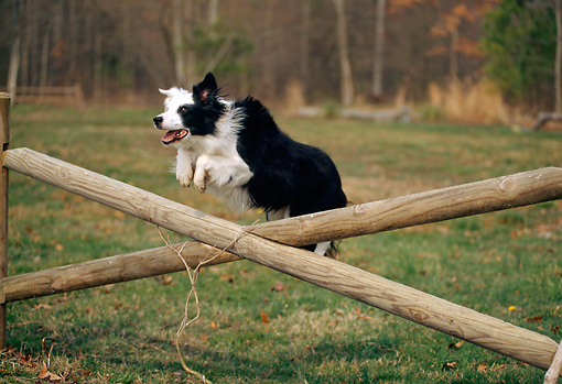 DOG 01 CE0147 01 © Kimball Stock Border Collie Leaping Over Fence Rails