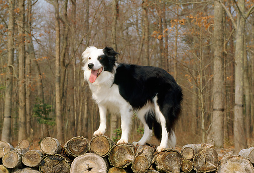 DOG 01 CE0150 01 © Kimball Stock Border Collie Standing On Woodpile By Woods