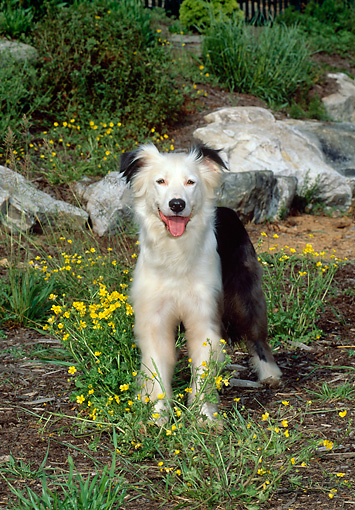 DOG 01 CE0152 01 © Kimball Stock Border Collie Standing In Garden By Yellow Flowers And Rocks