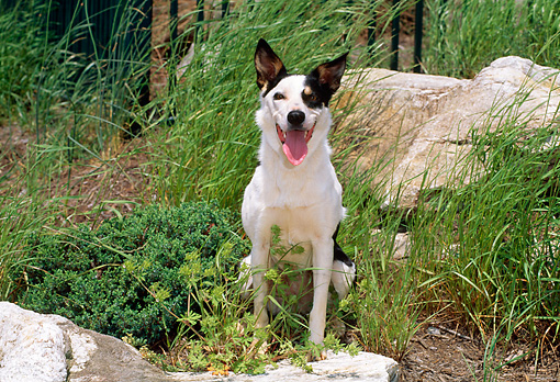 DOG 01 CE0155 01 © Kimball Stock Border Collie Sitting In Garden By Rocks