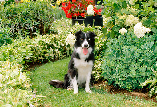 DOG 01 CE0156 01 © Kimball Stock Border Collie Sitting On Grass By Flowers