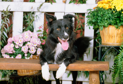 DOG 01 CE0158 01 © Kimball Stock Border Collie Laying On Bench By Fence And Potted Flowers