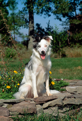 DOG 01 CE0160 01 © Kimball Stock Blue Merle Border Collie Sitting On Stone Wall By Yellow Flowers Trees