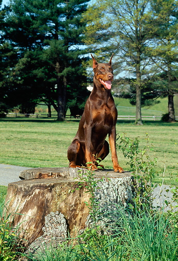 DOG 01 CE0162 01 © Kimball Stock Doberman Pinscher Sitting On Tree Stump By Trees