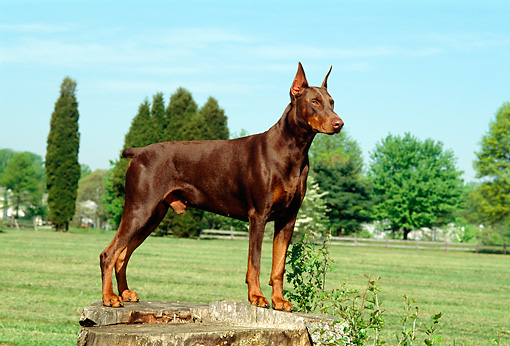 DOG 01 CE0163 01 © Kimball Stock Doberman Pinscher Standing On Tree Stump By Trees Blue Sky