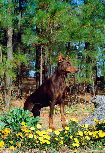 DOG 01 CE0164 01 © Kimball Stock Doberman Pinscher Standing On Log By Yellow Flowers Trees