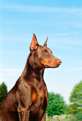 DOG 01 CE0165 01 © Kimball Stock Shoulder Shot Of Doberman Pinscher Sitting By Trees Blue Sky