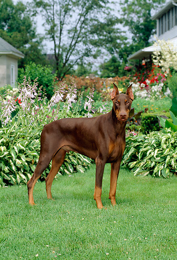 DOG 01 CE0166 01 © Kimball Stock Doberman Pinscher Standing On Grass By Flowers Trees