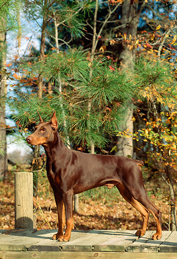 DOG 01 CE0167 01 © Kimball Stock Doberman Pinscher Standing On Dock By Trees