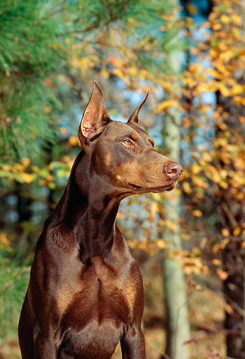 DOG 01 CE0168 01 © Kimball Stock Shoulder Shot Of Doberman Pinscher Sitting By Trees