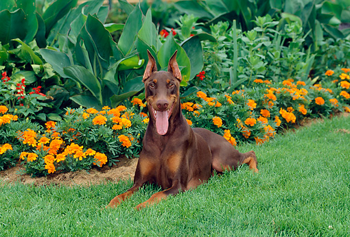 DOG 01 CE0171 01 © Kimball Stock Doberman Pinscher Laying In Grass By Orange Flowers