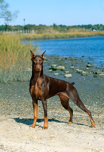 DOG 01 CE0173 01 © Kimball Stock Doberman Pinscher Standing On Beach By Tall Grass Blue Sky
