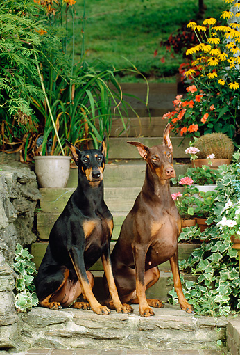 DOG 01 CE0175 01 © Kimball Stock Two Doberman Pinschers Sitting On Steps By Flowers